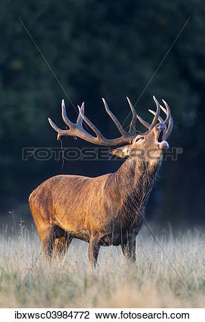 "Stock Photo of ""Red Deer (Cervus elaphus), roaring stag, rut."