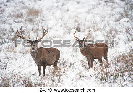 Stock Photography of two red deers.