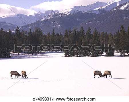 Picture of Bull elk (cervus elaphus) fighting in snow covered.