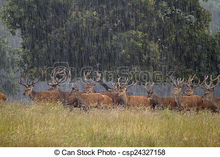 Stock Images of Red deer Cervus elaphus in heavy rain csp24327158.