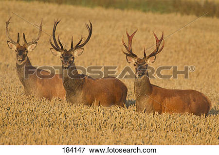 Picture of Red Deer (Cervus elaphus). Three stags in a wheat field.