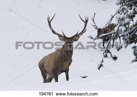 Stock Photography of Red Deer (Cervus elaphus). Zwo stags emerging.