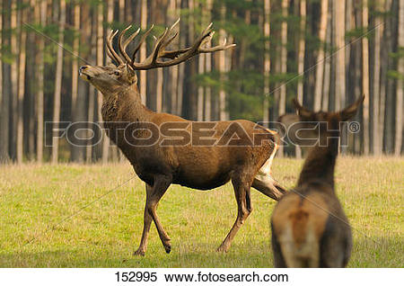 Stock Image of red deer stag on meadow / Cervus elaphus 152995.