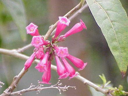 Solanaceae.