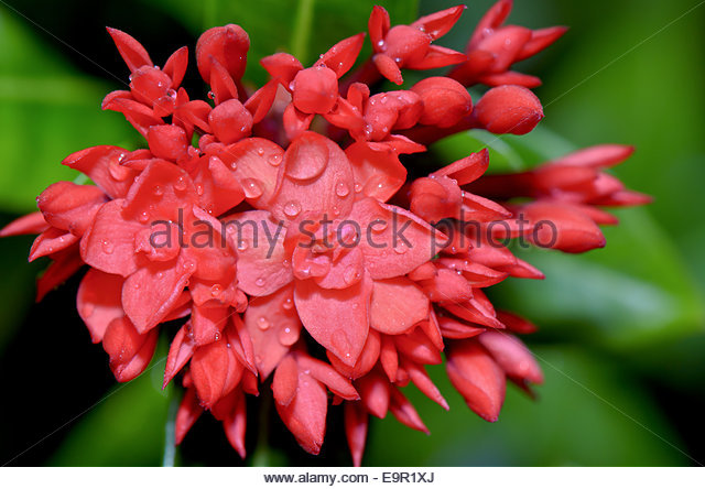 Red Jasmine Flower Stock Photos & Red Jasmine Flower Stock Images.