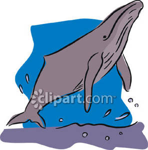 Humpback Whale Swimming To the Surface Royalty Free Clipart Picture.