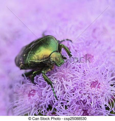 Stock Photos of Bettle Cetonia aurata ?loseup on purple flower.