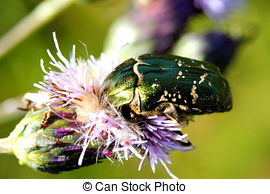 Stock Photography of green rose chafer (Cetonia aurata) beetle.