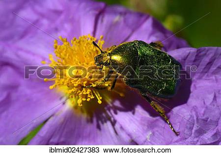 "Stock Photo of ""Rose chafer (Cetonia aurata) on rockrose (Cistus."