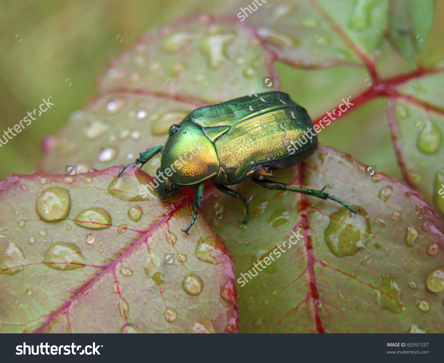 Rose Leaf With Raindrops And A Bug.