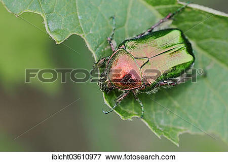 """Picture of """"Rose chafer (Cetonia aurata), Central Macedonia."""