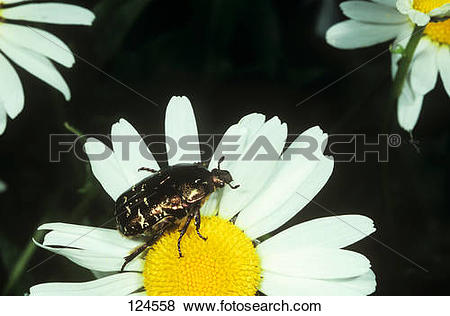 Pictures of rose chafer on blossom / Cetonia aurata 124558.