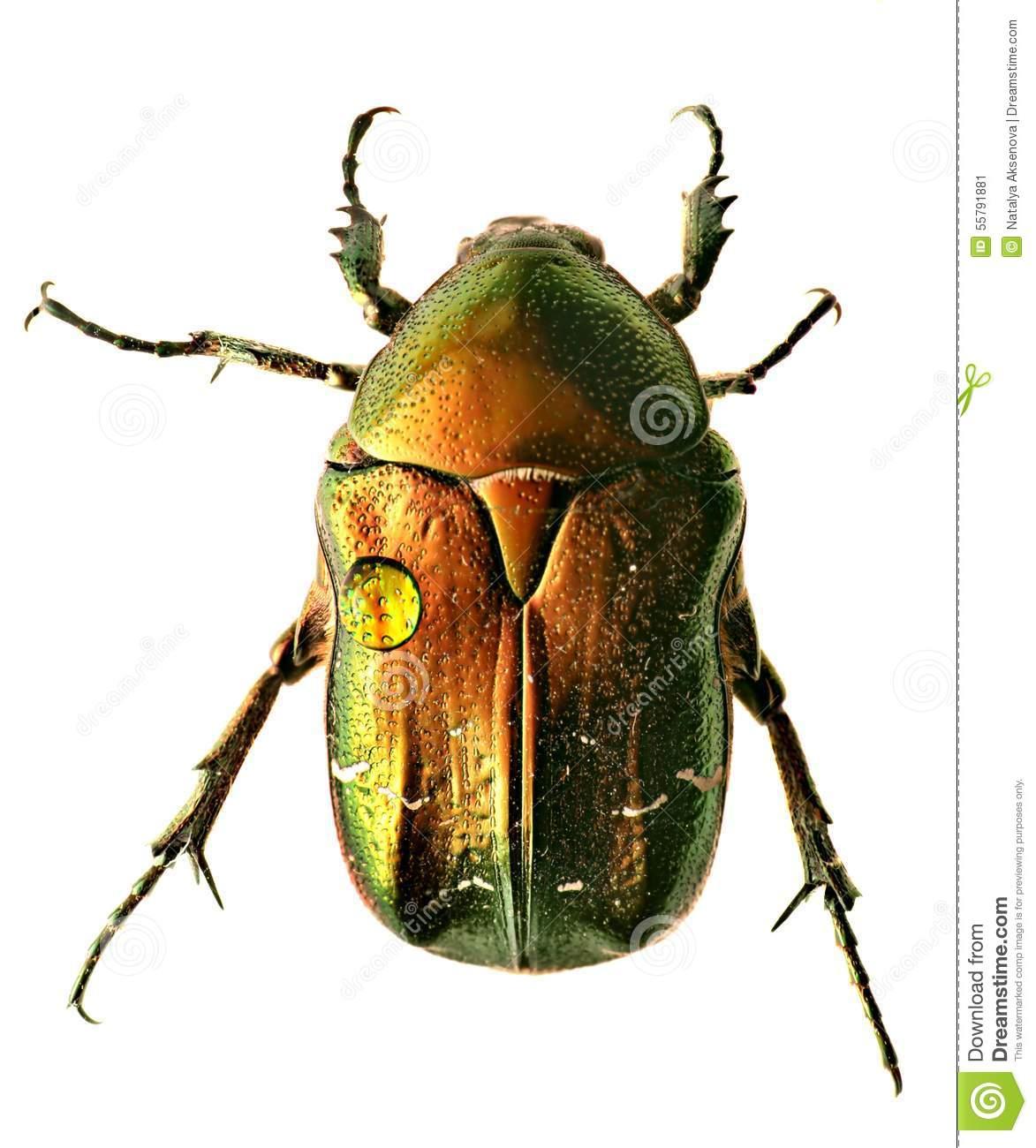 Green Beetle. Rose Chafer , Cetonia Aurata Stock Photo.