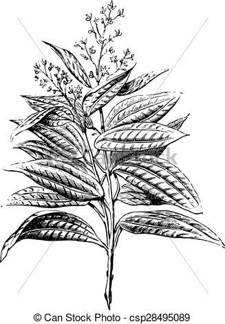 Vector of Ceylon cinnamon, flowers and leaves, vintage engraving.
