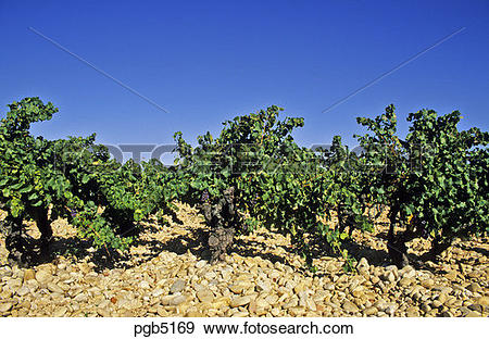Stock Photograph of France. Rhone Valley. Old vines growing.