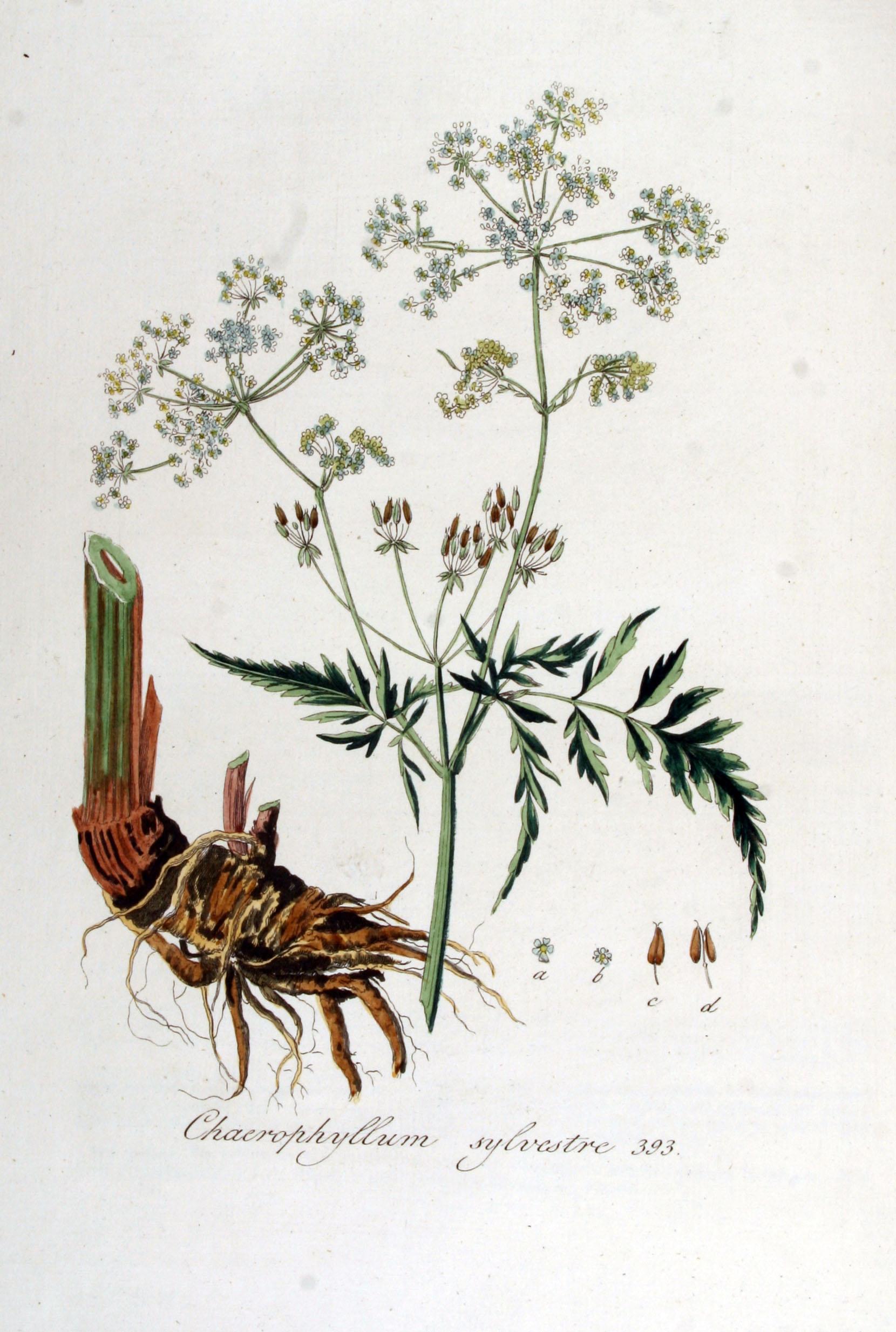 File:Chaerophyllum sylvestre — Flora Batava — Volume v5.jpg.