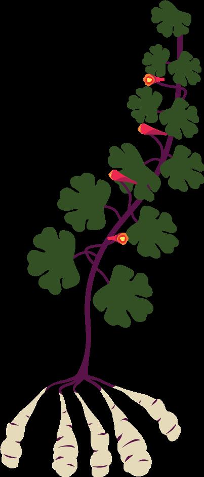 Mashua (Tropaeolum tuberosum).