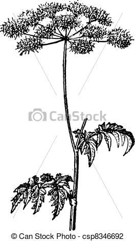Vector Illustration of Chaerophyllum temulum or Rough Chervil.