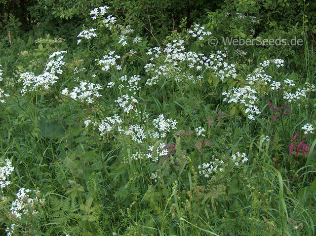 Anthriscus sylvestris, Cow Parsley.