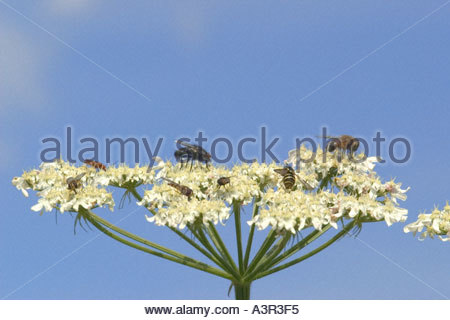 Anthriscus Stock Photos & Anthriscus Stock Images.