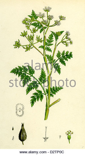 Common Chervil Stock Photos & Common Chervil Stock Images.