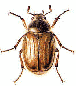 Chafer Clip Art Download.