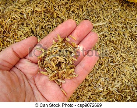 Stock Photographs of Rice husk on hand.