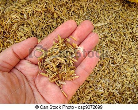 Stock Photographs of Rice husk on hand.