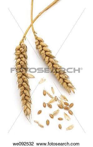 Stock Photo of two ears of wheat with separate grains and chaff.
