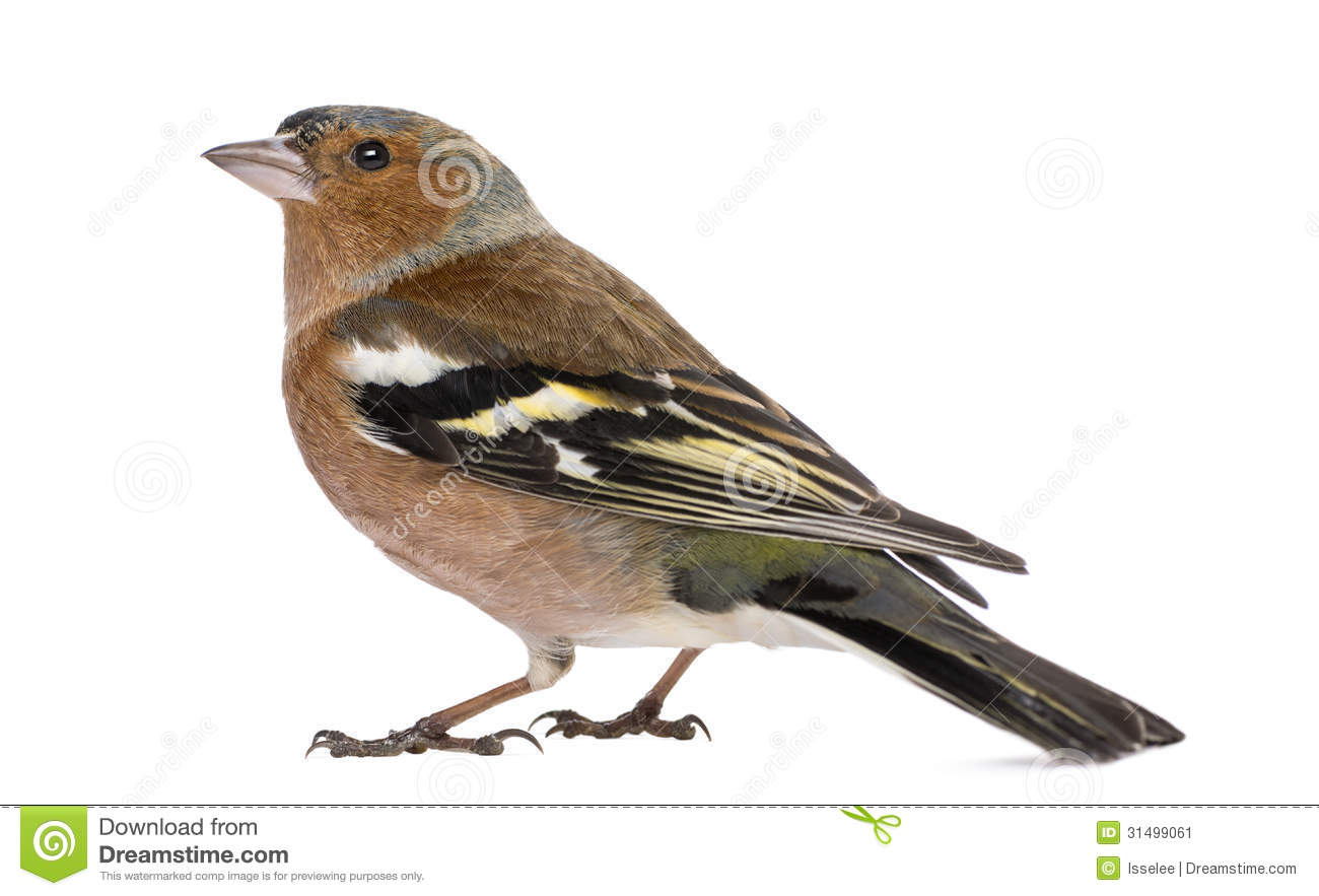Male Common Chaffinch.