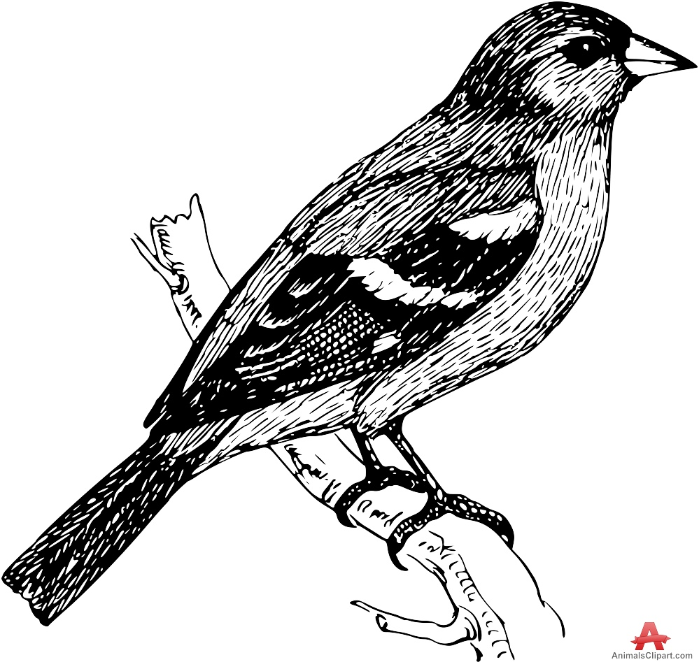 Common Chaffinch Bird Clipart Drawing.