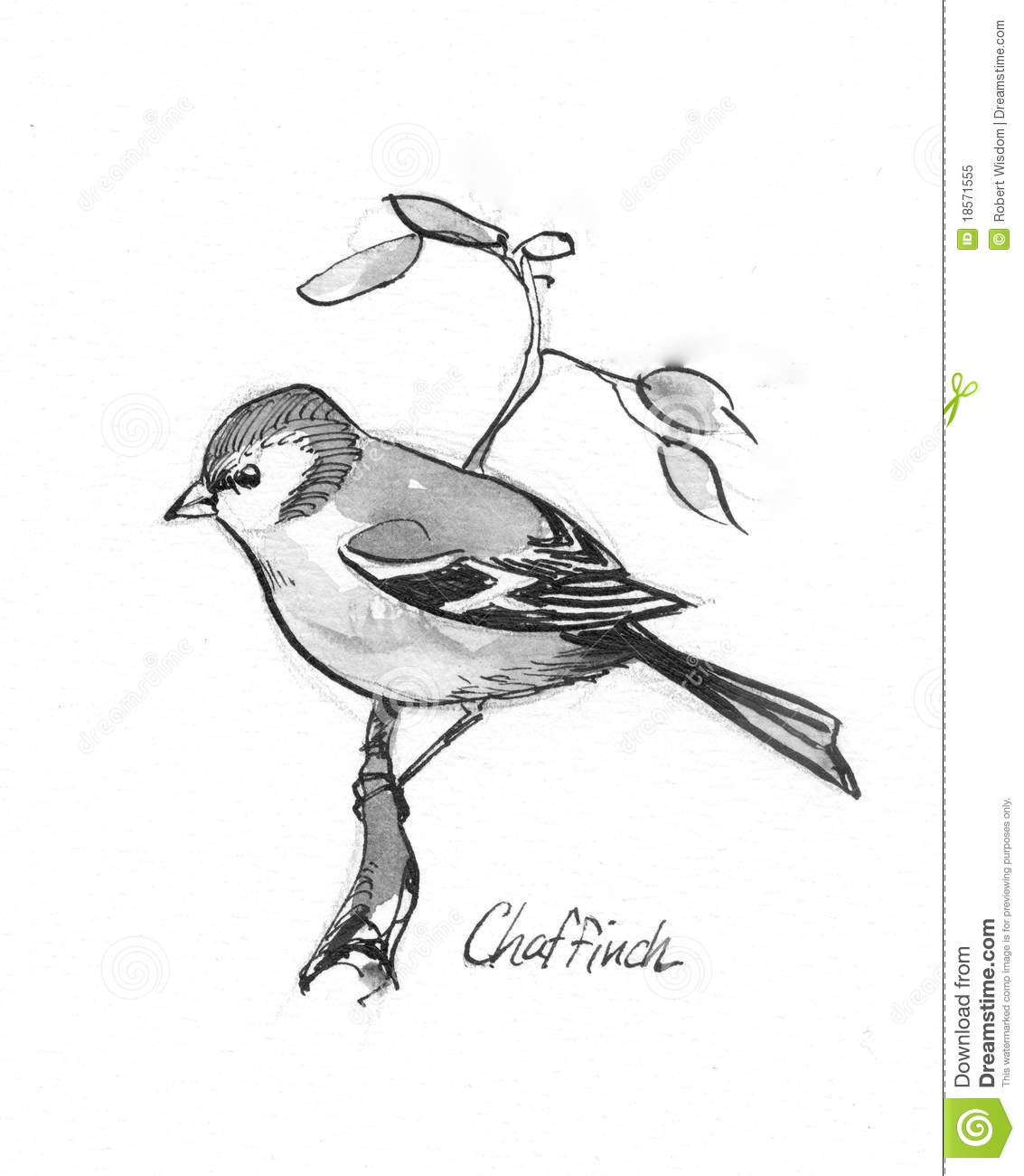 Chaffinch Illustration Royalty Free Stock Photo.