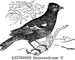 Chaffinch Clip Art EPS Images. 42 chaffinch clipart vector.