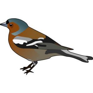 Male Chaffinch Bird clip art.
