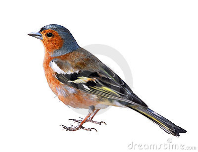 Chaffinch Stock Illustrations.