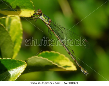 Western Willow Spreadwing Stock Photos, Royalty.