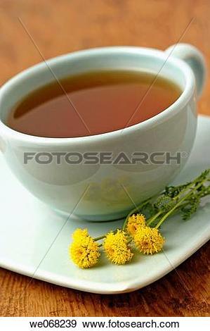 Stock Photograph of Lavender cotton (Santolina chamaecyparissus.