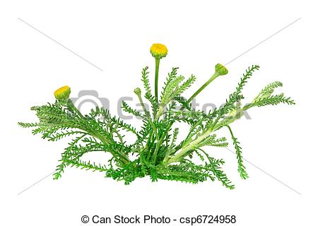 Pictures of Santolina Chamaecyparissus csp6724958.