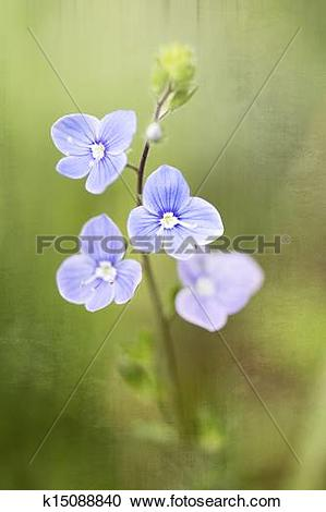 Stock Photography of Germander Speedwell (Veronica chamaedrys.