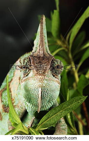 Stock Photography of Veiled chameleon (Chamaeleo calyptratus.