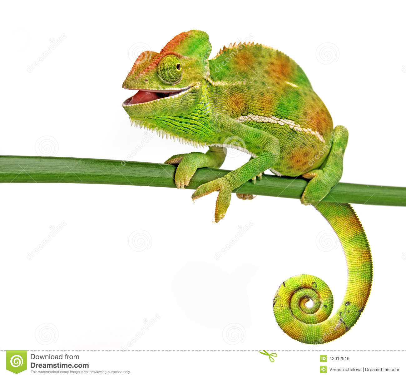 Chameleon Stock Photo.