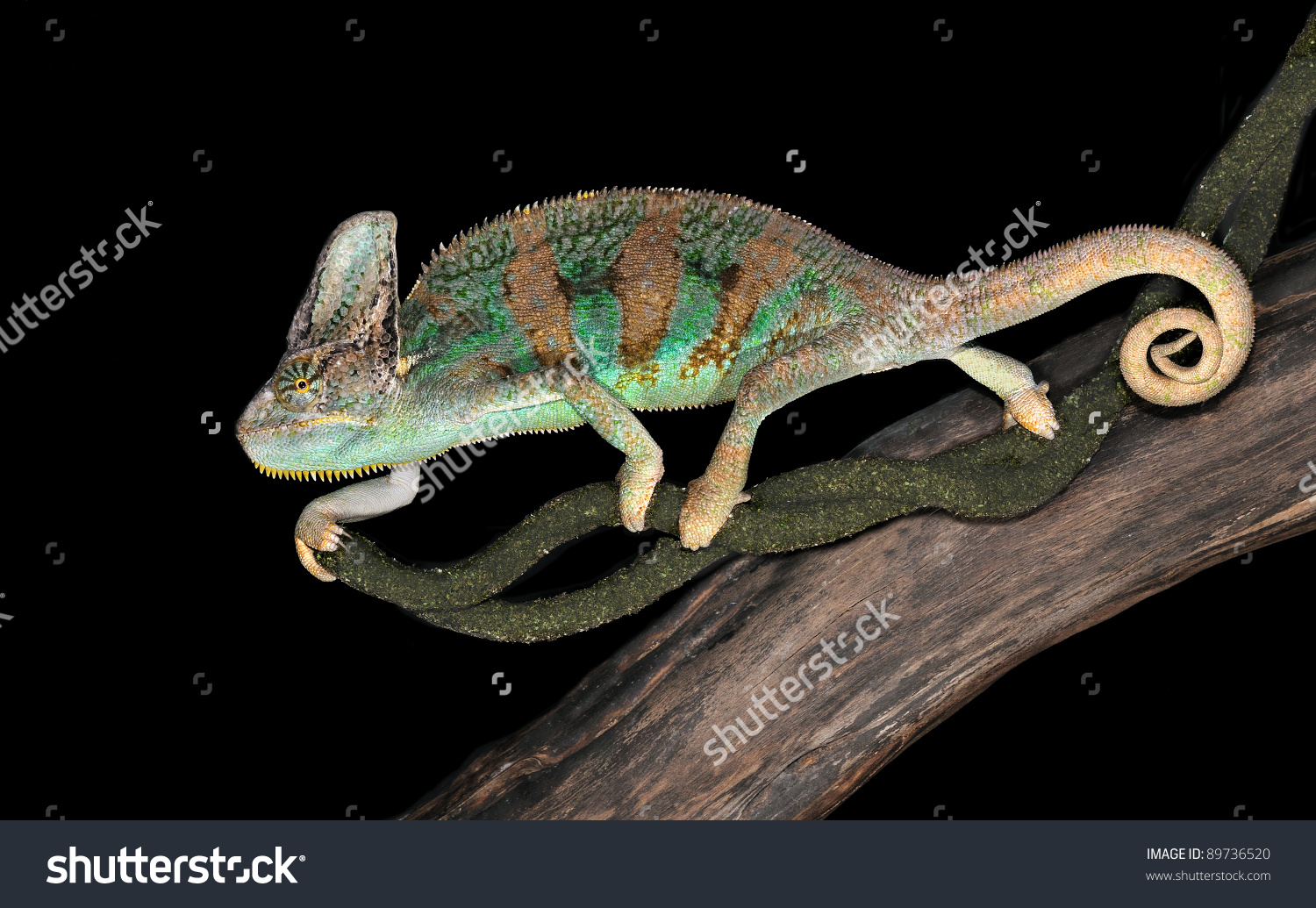 Chamaeleo Calyptratus (Veiled Chameleon) Is Sitting On A Branch Of.
