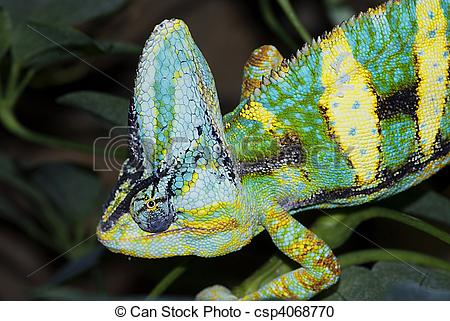 Stock Photography of Yemen Chameleon (Chamaeleo calyptratus.
