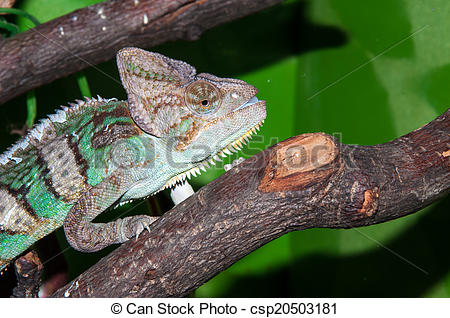 Pictures of Veiled Chameleon or Chamaeleo calyptratus.