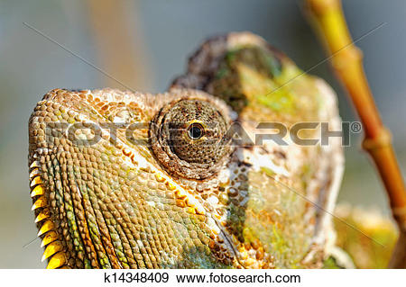 Stock Photograph of Chamaeleo calyptratus k14348409.