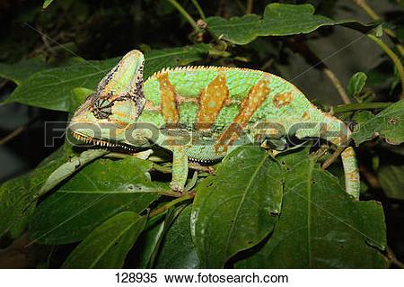 Stock Image of Yemen chameleon / Chamaeleo calyptratus 128935.