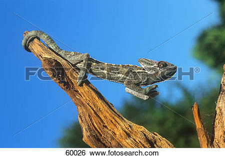 Stock Images of Veiled Chameleon / chamaeleo calyptratus 60026.