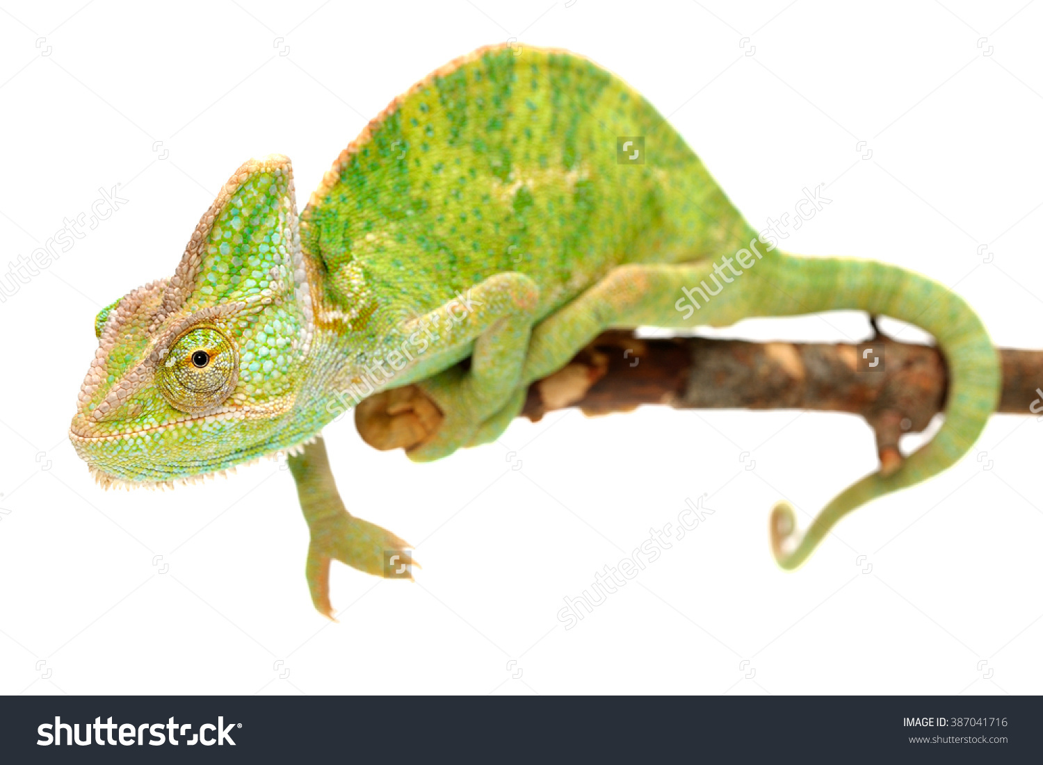 Veiled Chameleon Chamaeleo Calyptratus Isolated On Stock Photo.