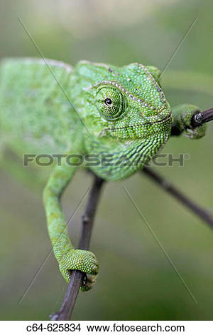 Stock Photo of Common Chameleon (Chamaeleo chamaeleon). Cadiz.