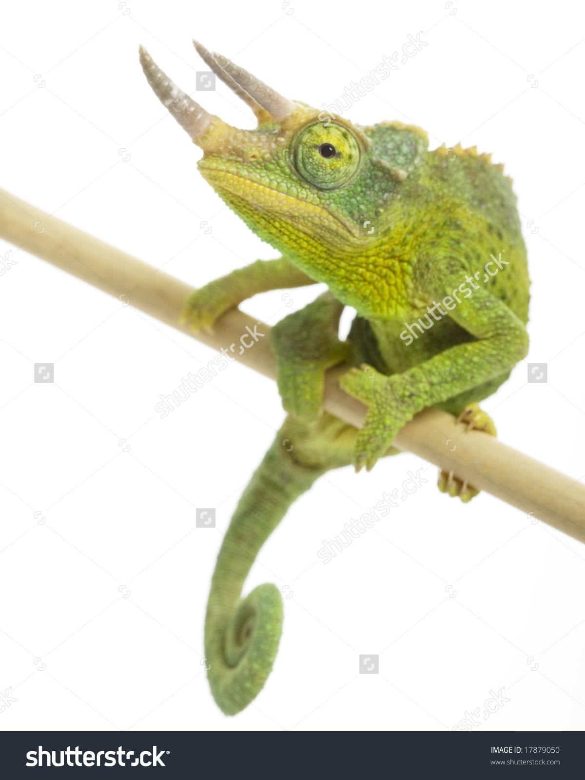 Male Chameleon Chamaeleo Jacksonii On White Stock Photo 17879050.